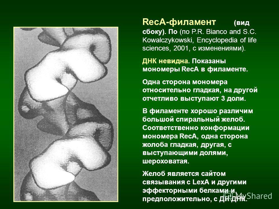 RecA-филамент (вид сбоку). По (по P.R. Bianco and S.C. Kowalczykowski, Encyclopedia of life sciences, 2001, с изменениями). ДНК невидна. Показаны мономеры RecA в филаменте. Одна сторона мономера относительно гладкая, на другой отчетливо выступают 3 д