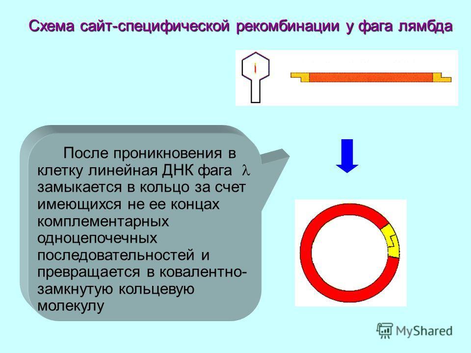 После проникновения в клетку линейная ДНК фага замыкается в кольцо за счет имеющихся не ее концах комплементарных одноцепочечных последовательностей и превращается в ковалентно- замкнутую кольцевую молекулу Схема сайт-специфической рекомбинации у фаг