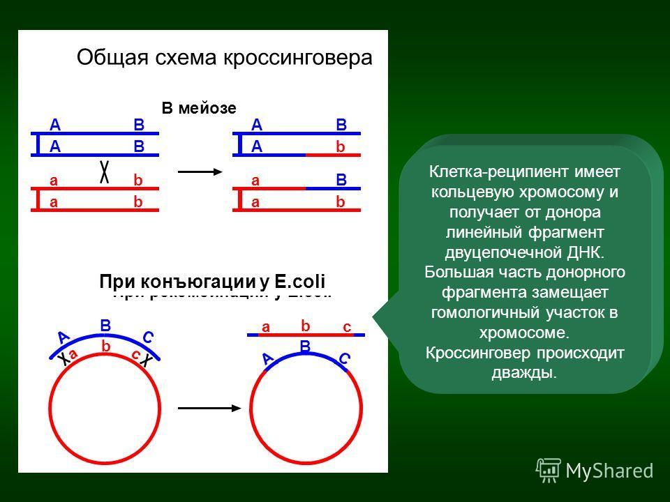 Клетка-реципиент имеет кольцевую хромосому и получает от донора линейный фрагмент двуцепочечной ДНК. Большая часть донорного фрагмента замещает гомологичный участок в хромосоме. Кроссинговер происходит дважды. При конъюгации у E.coli