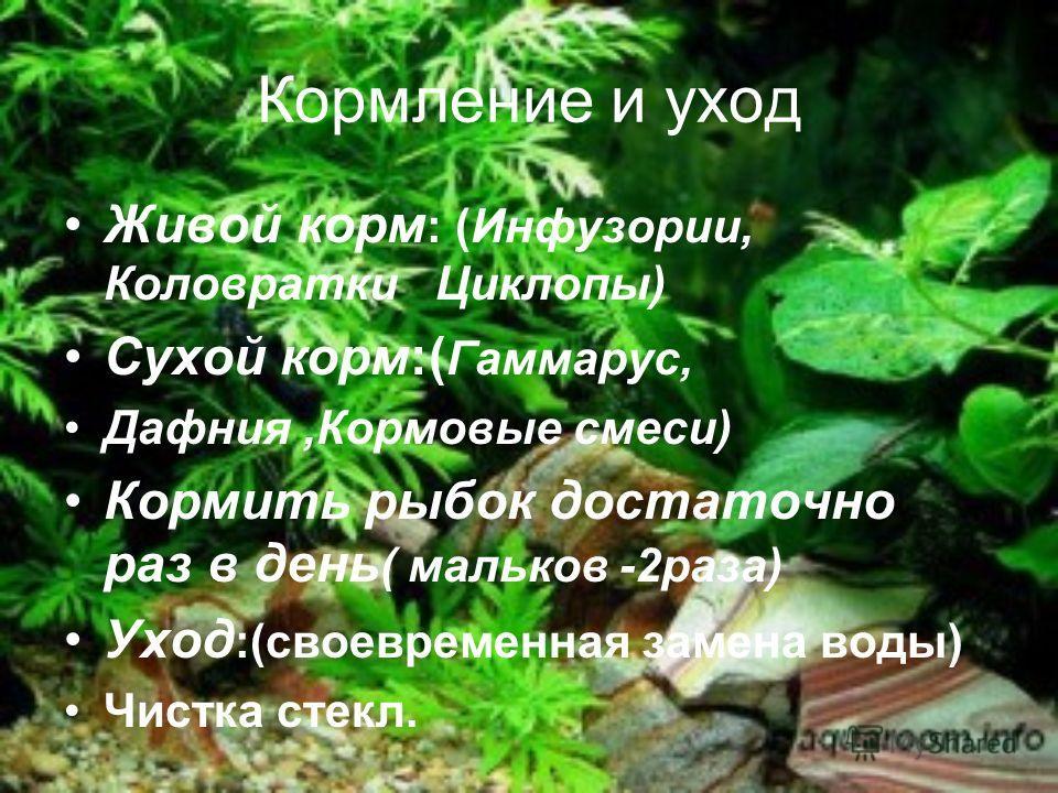 Другие обитатели аквариума Физа Лягушка Лужанка
