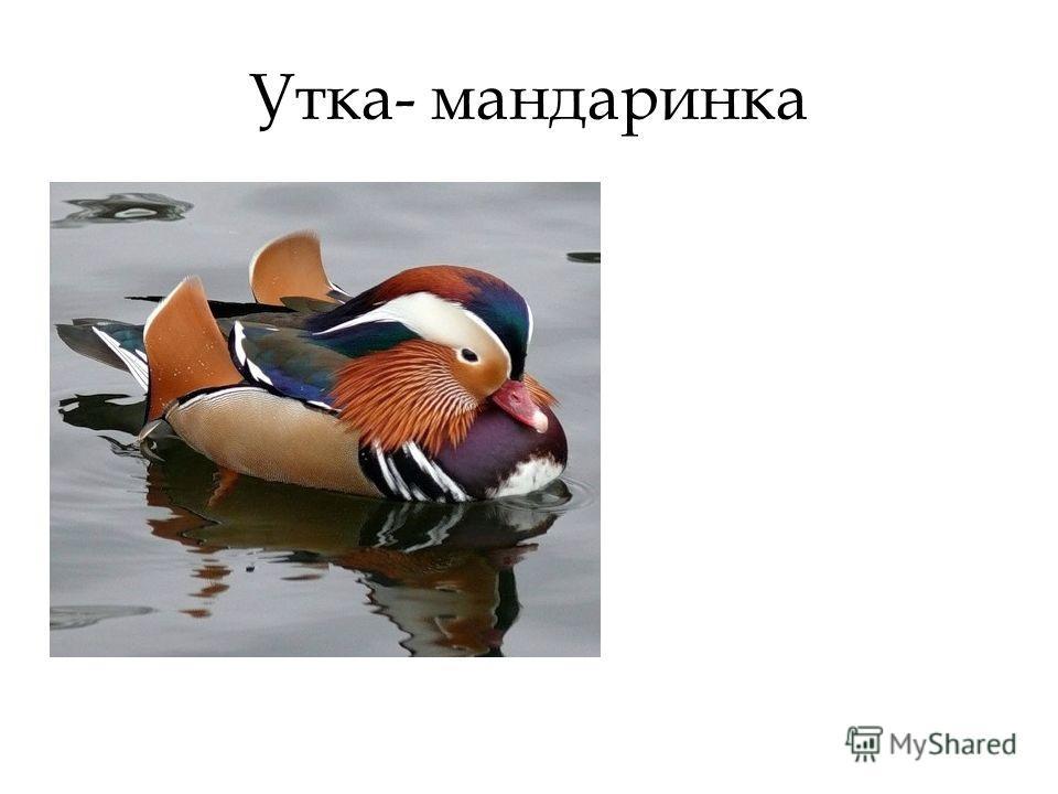 Утка- мандаринка