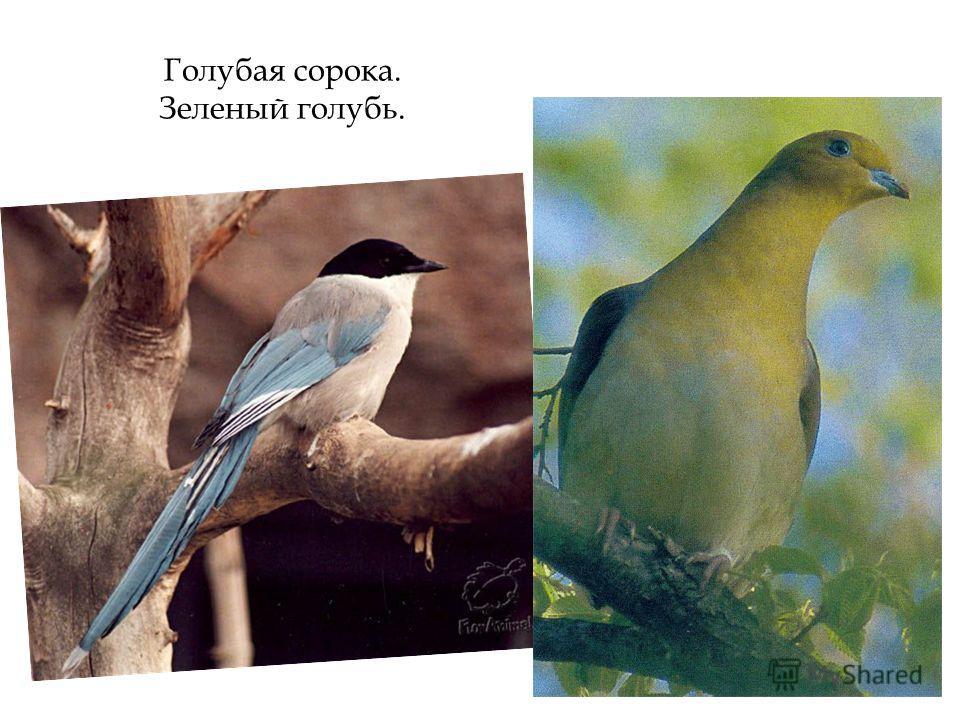 Голубая сорока. Зеленый голубь.