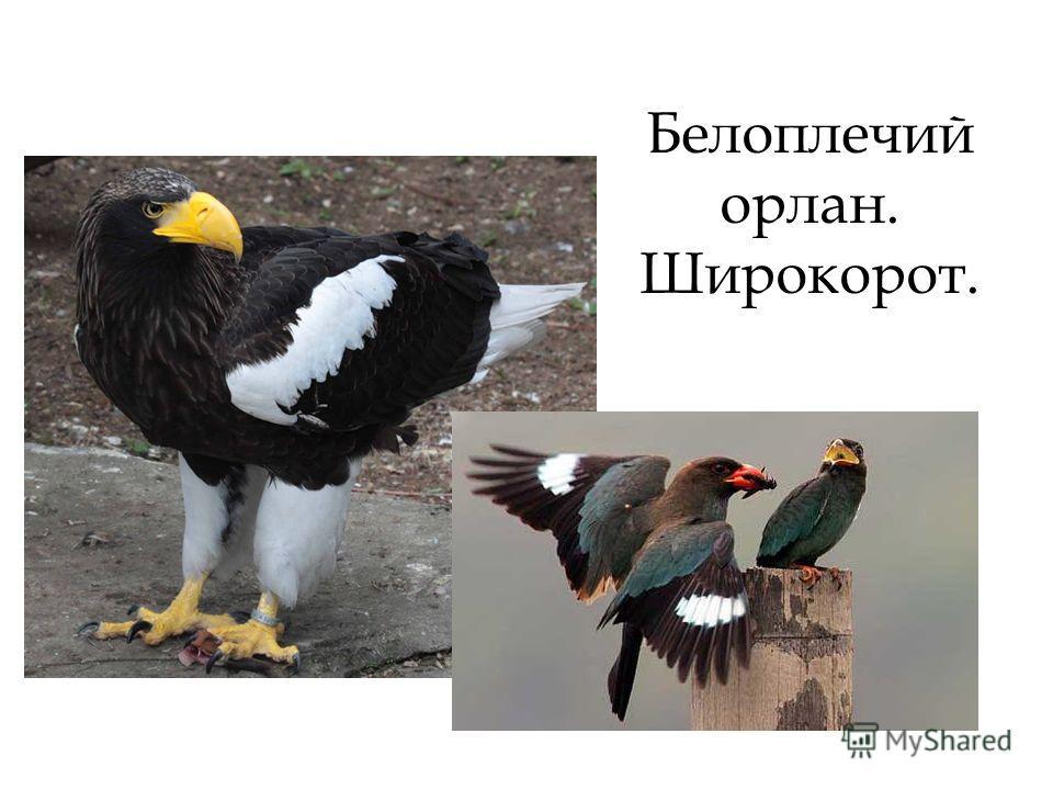 Белоплечий орлан. Широкорот.