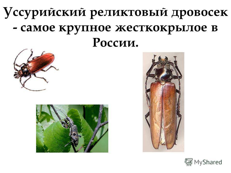 Уссурийский реликтовый дровосек - самое крупное жесткокрылое в России.
