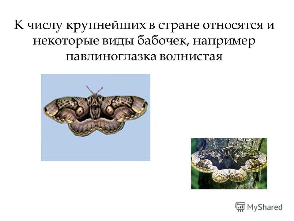 К числу крупнейших в стране относятся и некоторые виды бабочек, например павлиноглазка волнистая