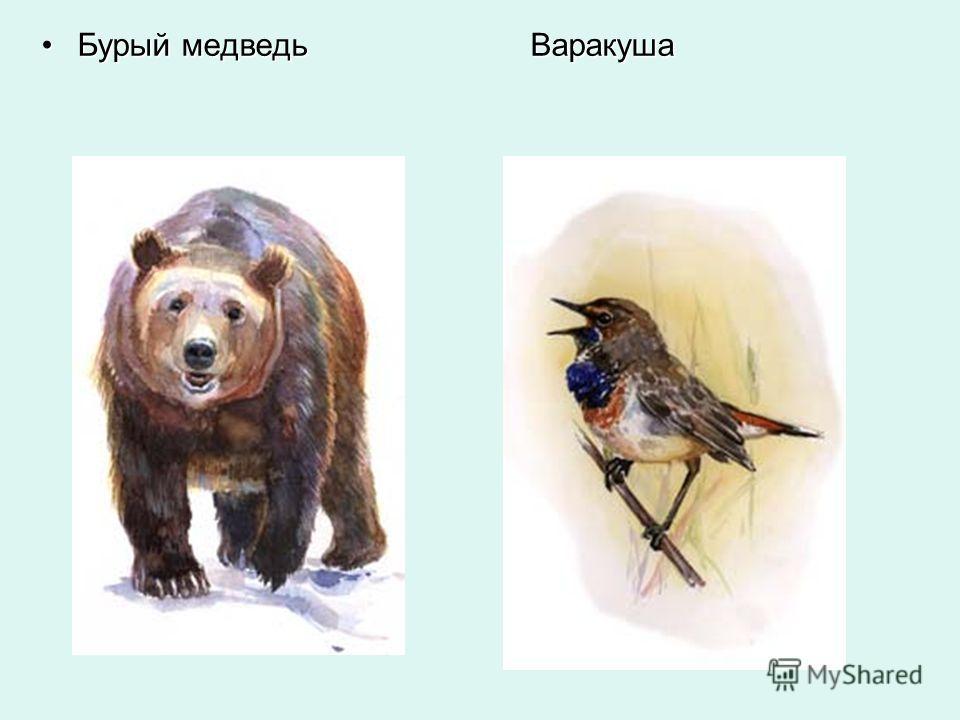 Бурый медведь ВаракушаБурый медведь Варакуша