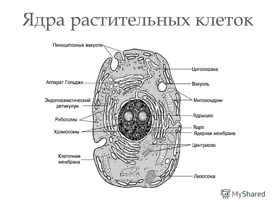 Ядра растительных клеток