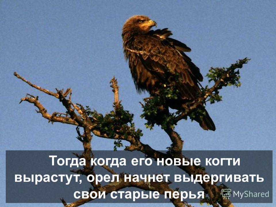 После этого, орел дождется того чтобы вырос новый клюв и начнет выдергивать свои когти