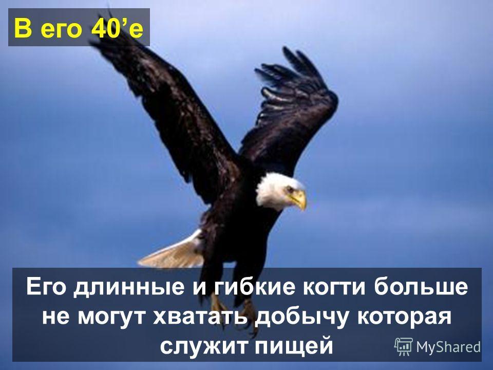 Но чтобы достичь этого возраста, орел должен принять трудное решение Он может жить до 70 лет
