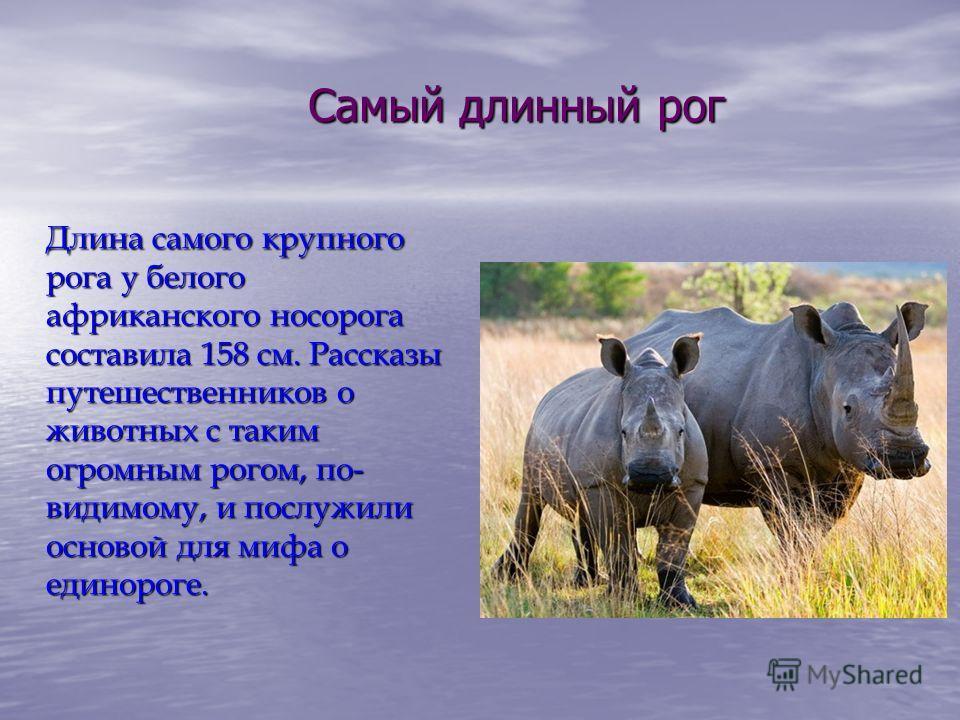 Самый длинный рог Длина самого крупного рога у белого африканского носорога составила 158 см. Рассказы путешественников о животных с таким огромным рогом, по- видимому, и послужили основой для мифа о единороге.
