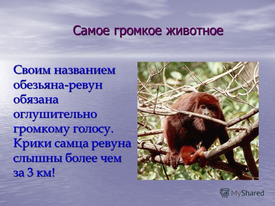 Самое громкое животное Своим названием обезьяна-ревун обязана оглушительно громкому голосу. Крики самца ревуна слышны более чем за 3 км!