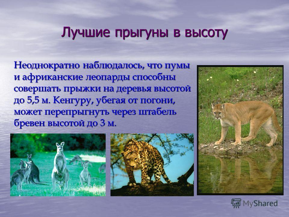 Лучшие прыгуны в высоту Неоднократно наблюдалось, что пумы и африканские леопарды способны совершать прыжки на деревья высотой до 5,5 м. Кенгуру, убегая от погони, может перепрыгнуть через штабель бревен высотой до 3 м.
