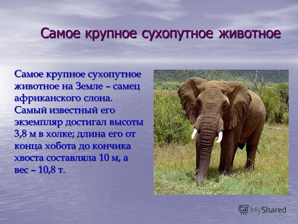 Самое крупное сухопутное животное Самое крупное сухопутное животное на Земле – самец африканского слона. Самый известный его экземпляр достигал высоты 3,8 м в холке; длина его от конца хобота до кончика хвоста составляла 10 м, а вес – 10,8 т.