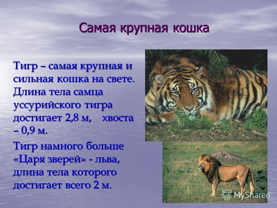 Самая крупная кошка Тигр – самая крупная и сильная кошка на свете. Длина тела самца уссурийского тигра достигает 2,8 м, хвоста – 0,9 м. Тигр намного больше «Царя зверей» - льва, длина тела которого достигает всего 2 м.