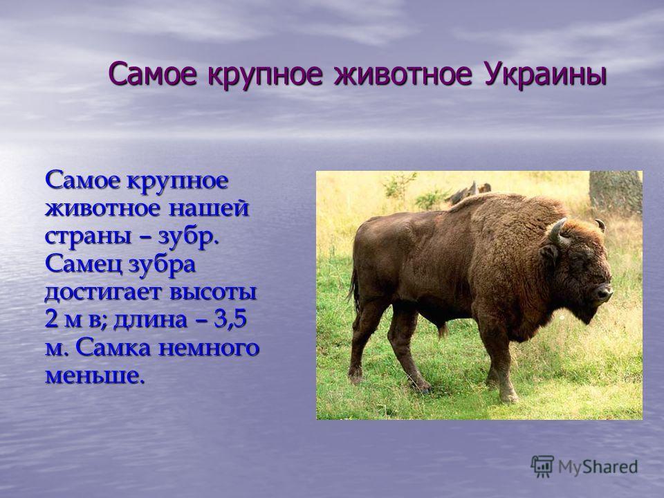 Самое крупное животное Украины Самое крупное животное нашей страны – зубр. Самец зубра достигает высоты 2 м в; длина – 3,5 м. Самка немного меньше.