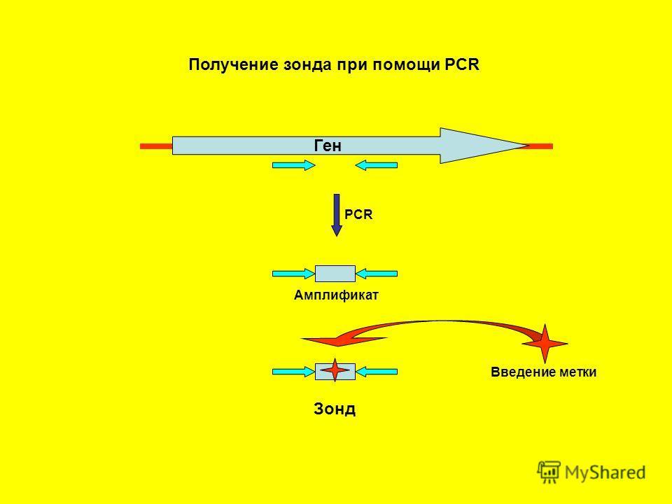 Получение зонда при помощи PCR Ген PCR Амплификат Введение метки Зонд