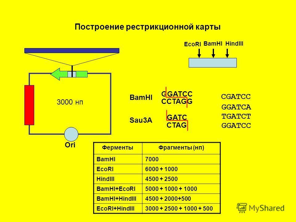 Ori 3000 нп EcoRI BamHIHindIII BamHI Sau3A GGATCC CCTAGG GATC CTAG GGATCC CGATCC GGATCA TGATCT Построение рестрикционной карты ФерментыФрагменты (нп) BamHI7000 EcoRI6000 + 1000 HindIII4500 + 2500 BamHI+EcoRI5000 + 1000 + 1000 BamHI+HindIII4500 + 2000