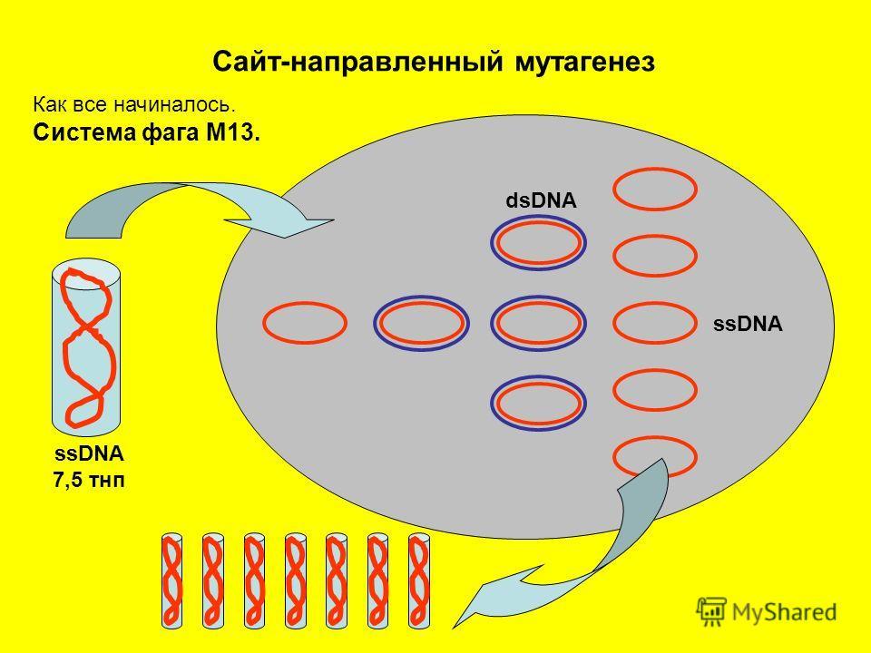 Сайт-направленный мутагенез Как все начиналось. Система фага М13. ssDNA 7,5 тнп ssDNA dsDNA