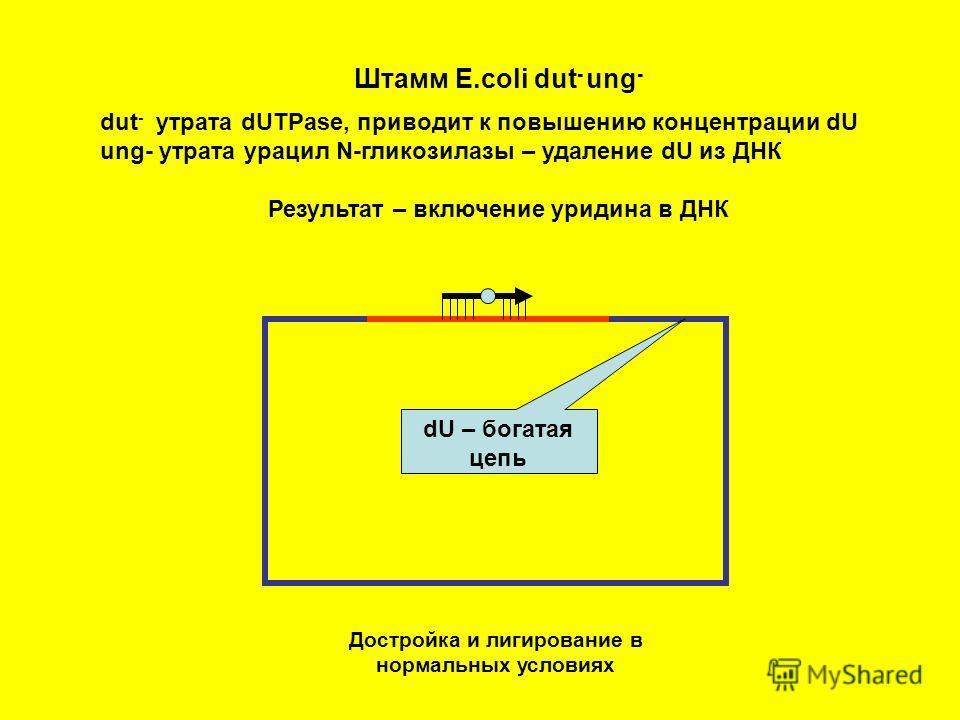 Штамм E.coli dut - ung - dut - утрата dUTPase, приводит к повышению концентрации dU ung- утрата урацил N-гликозилазы – удаление dU из ДНК Результат – включение уридина в ДНК dU – богатая цепь Достройка и лигирование в нормальных условиях