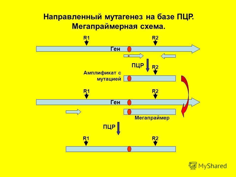Направленный мутагенез на базе ПЦР. Мегапраймерная схема. ПЦР Амплификат с мутацией Ген R1R2 Ген R1R2 ПЦР R1R2 Мегапраймер
