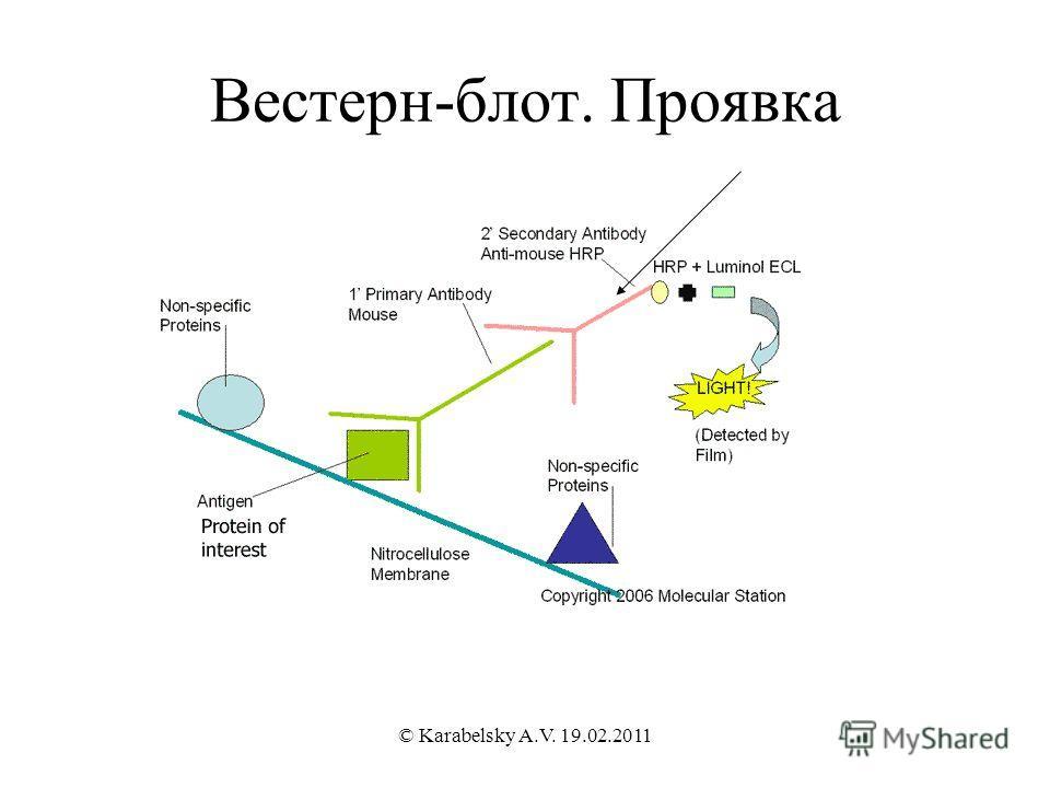 Вестерн-блот. Проявка © Karabelsky A.V. 19.02.2011
