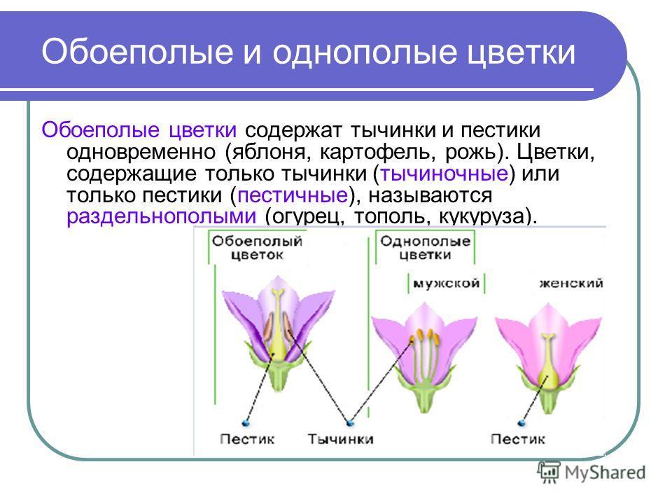 В цветках однополые или обоеполые