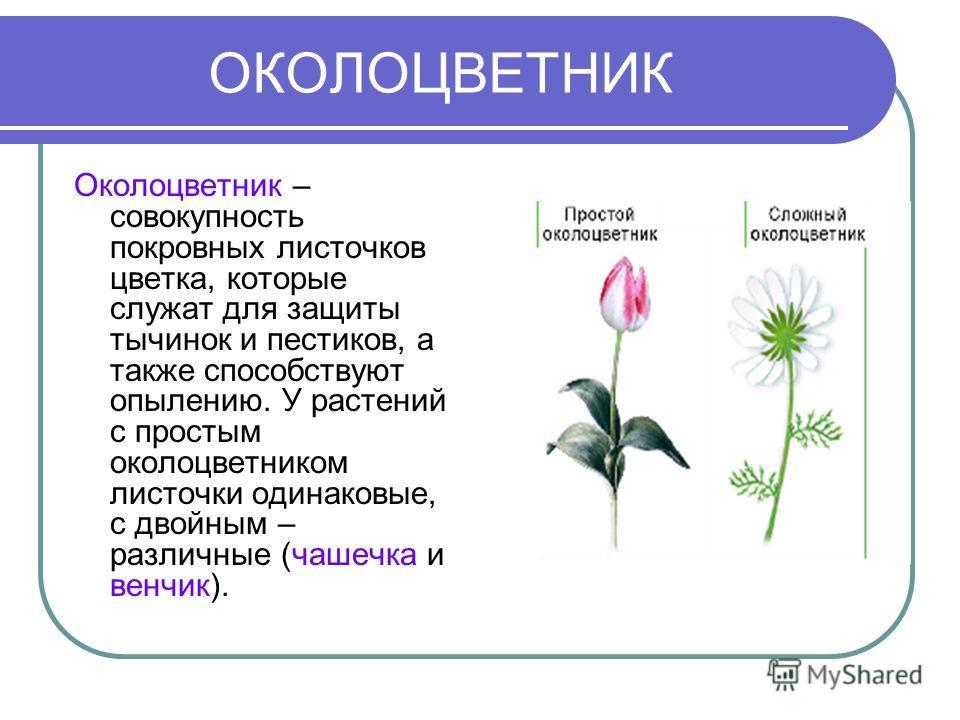 ОКОЛОЦВЕТНИК Околоцветник