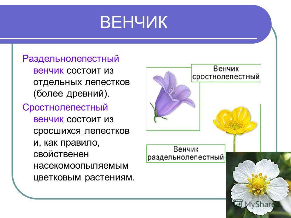 ВЕНЧИК Раздельнолепестный венчик состоит из отдельных лепестков (более древний). Сростнолепестный венчик состоит из сросшихся лепестков и, как правило, свойственен насекомоопыляемым цветковым растениям.