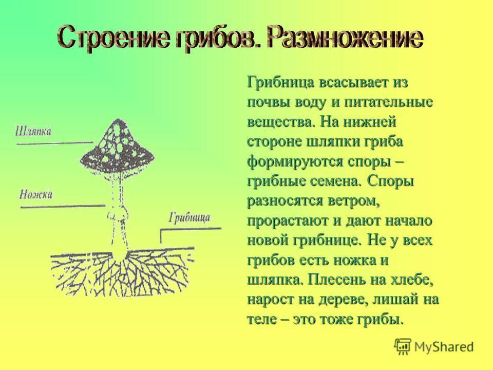 Грибница всасывает из почвы воду и питательные вещества. На нижней стороне шляпки гриба формируются споры – грибные семена. Споры разносятся ветром, прорастают и дают начало новой грибнице. Не у всех грибов есть ножка и шляпка. Плесень на хлебе, наро