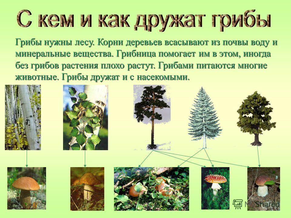 Грибы нужны лесу. Корни деревьев всасывают из почвы воду и минеральные вещества. Грибница помогает им в этом, иногда без грибов растения плохо растут. Грибами питаются многие животные. Грибы дружат и с насекомыми.