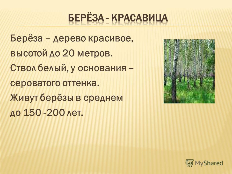 Берёза – дерево красивое, высотой до 20 метров. Ствол белый, у основания – сероватого оттенка. Живут берёзы в среднем до 150 -200 лет.