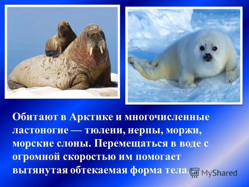 Обитают в Арктике и многочисленные ластоногие тюлени, нерпы, моржи, морские слоны. Перемещаться в воде с огромной скоростью им помогает вытянутая обтекаемая форма тела.