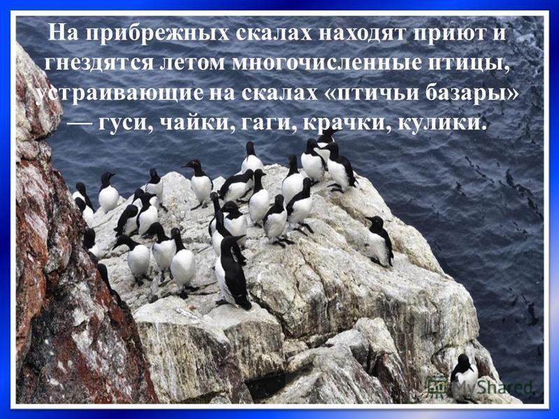 На прибрежных скалах находят приют и гнездятся летом многочисленные птицы, устраивающие на скалах «птичьи базары» гуси, чайки, гаги, крачки, кулики.