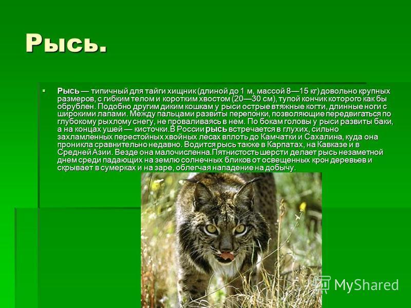 Рысь. Рысь типичный для тайги хищник (длиной до 1 м, массой 815 кг) довольно крупных размеров, с гибким телом и коротким хвостом (2030 см), тупой кончик которого как бы обрублен. Подобно другим диким кошкам у рыси острые втяжные когти, длинные ноги с