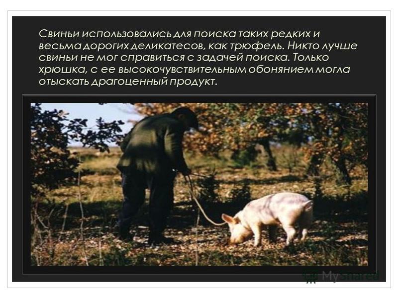 Свиньи использовались для поиска таких редких и весьма дорогих деликатесов, как трюфель. Никто лучше свиньи не мог справиться с задачей поиска. Только хрюшка, с ее высокочувствительным обонянием могла отыскать драгоценный продукт.