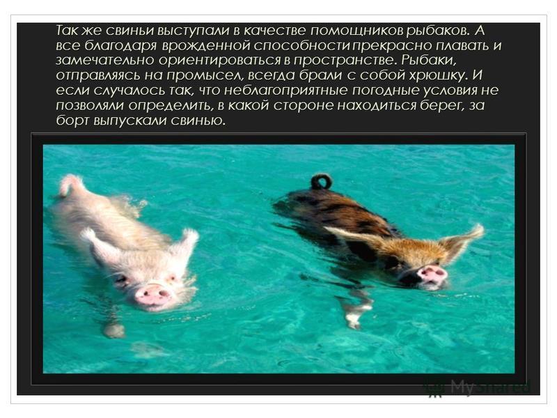 Так же свиньи выступали в качестве помощников рыбаков. А все благодаря врожденной способности прекрасно плавать и замечательно ориентироваться в пространстве. Рыбаки, отправляясь на промысел, всегда брали с собой хрюшку. И если случалось так, что неб