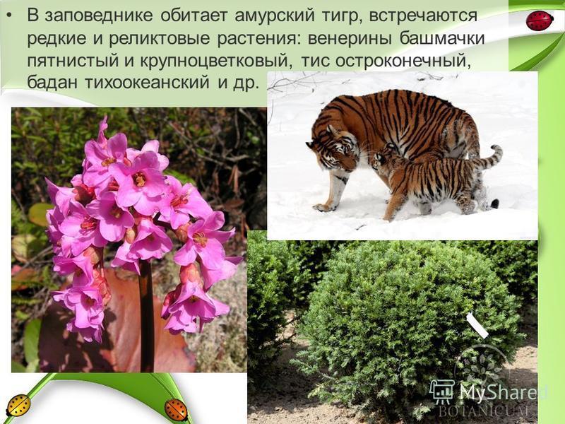В заповеднике обитает амурский тигр, встречаются редкие и реликтовые растения: венерины башмачки пятнистый и крупноцветковый, тис остроконечный, бадан тихоокеанский и др.