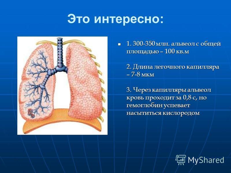 Это интересно: 1. 300-350 млн. альвеол с общей площадью – 100 кв.м 2. Длина легочного капилляра – 7-8 мкм 3. Через капилляры альвеол кровь проходит за 0,8 с, но гемоглобин успевает насытиться кислородом 1. 300-350 млн. альвеол с общей площадью – 100