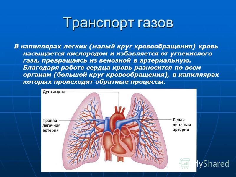 Транспорт газов В капиллярах легких (малый круг кровообращения) кровь насыщается кислородом и избавляется от углекислого газа, превращаясь из венозной в артериальную. Благодаря работе сердца кровь разносится по всем органам (большой круг кровообращен