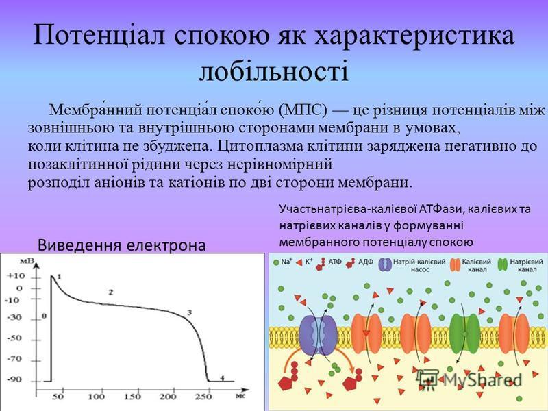 Потенціал спокою як характеристика лобільності Мембра́нний потенціа́л споко́ю (МПС) це різниця потенціалів між зовнішньою та внутрішньою сторонами мембрани в умовах, коли клітина не збуджена. Цитоплазма клітини заряджена негативно до позаклітинної рі