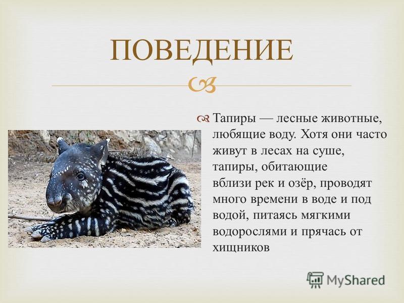 Тапиры лесные животные, любящие воду. Хотя они часто живут в лесах на суше, тапиры, обитающие вблизи рек и озёр, проводят много времени в воде и под водой, питаясь мягкими водорослями и прячась от хищников ПОВЕДЕНИЕ