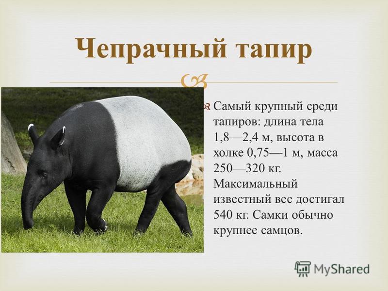 Самый крупный среди тапиров : длина тела 1,82,4 м, высота в холке 0,751 м, масса 250320 кг. Максимальный известный вес достигал 540 кг. Самки обычно крупнее самцов. Чепрачный тапир