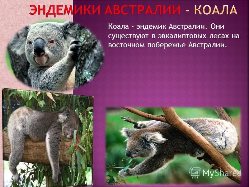 Коала - эндемик Австралии. Они существуют в эвкалиптовых лесах на восточном побережье Австралии.