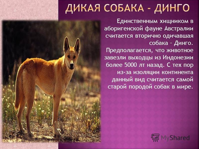 Единственным хищником в аборигенской фауне Австралии считается вторично одичавшая собака – Динго. Предполагается, что животное завезли выходцы из Индонезии более 5000 лет назад. С тех пор из-за изоляции континента данный вид считается самой старой по