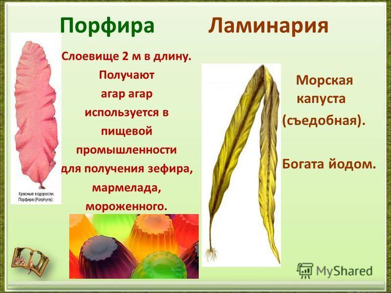 Порфира Ламинария Слоевище 2 м в длину. Получают агар используется в пищевой промышленности для получения зефира, мармелада, мороженного. Морская капуста (съедобная). Богата йодом.