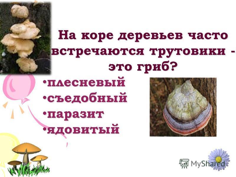 На коре деревьев часто встречаются трутовики - это гриб? плесневый плесневый съедобный съедобный паразит паразит ядовитый ядовитый