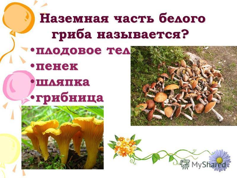 Наземная часть белого гриба называется? Наземная часть белого гриба называется? плодовое тело плодовое тело пенек пенек шляпка шляпка грибница грибница