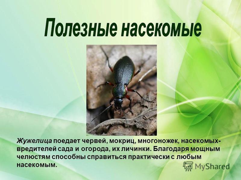 Жужелица поедает червей, мокриц, многоножек, насекомых- вредителей сада и огорода, их личинки. Благодаря мощным челюстям способны справиться практически с любым насекомым.