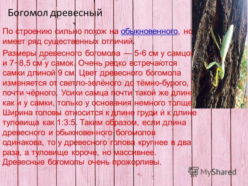 Богомол древесный По строению сильно похож на обыкновенного, но имеет ряд существенных отличий.обыкновенного Размеры древесного богомола 5-6 см у самцов и 78,5 см у самок. Очень редко встречаются самки длиной 9 см. Цвет древесного богомола изменяется