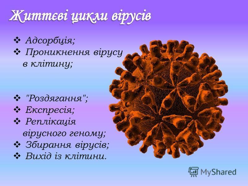 Адсорбція; Проникнення вірусу в клітину; Роздягання; Експресія; Реплікація вірусного геному; Збирання вірусів; Вихід із клітини.
